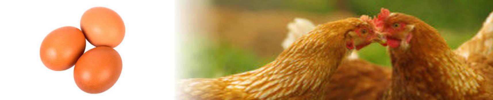 SBA Chickens2